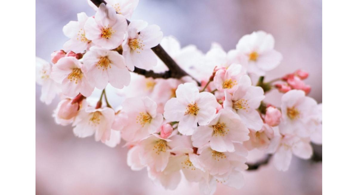 家乡的樱花开了什么梗 什么意思