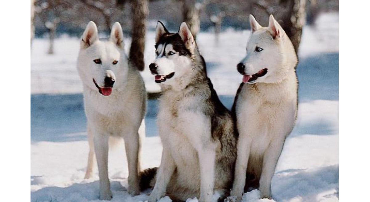 大型狗的品种,最为典型的几种看这些